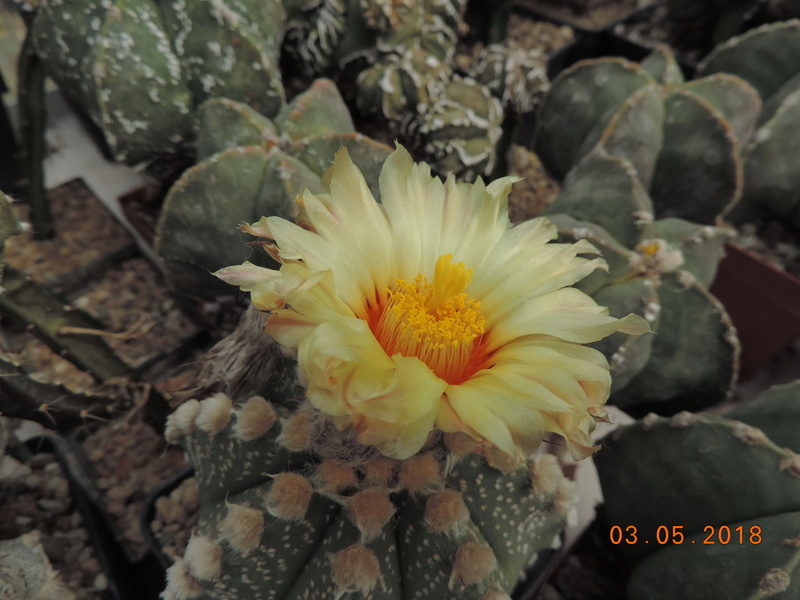 Cacti and Sukkulent in Köln, every day new flowers in the greenhouse Part 193 Bild2196