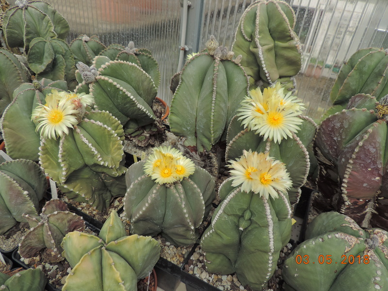 Cacti and Sukkulent in Köln, every day new flowers in the greenhouse Part 193 Bild2198