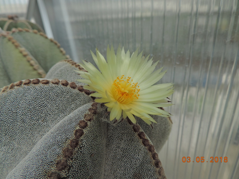 Cacti and Sukkulent in Köln, every day new flowers in the greenhouse Part 193 Bild2200