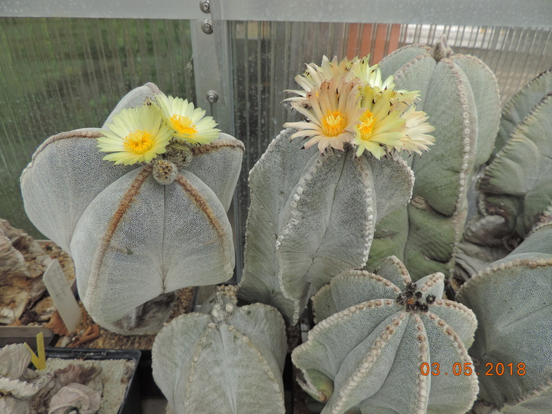 Cacti and Sukkulent in Köln, every day new flowers in the greenhouse Part 193 Bild2202
