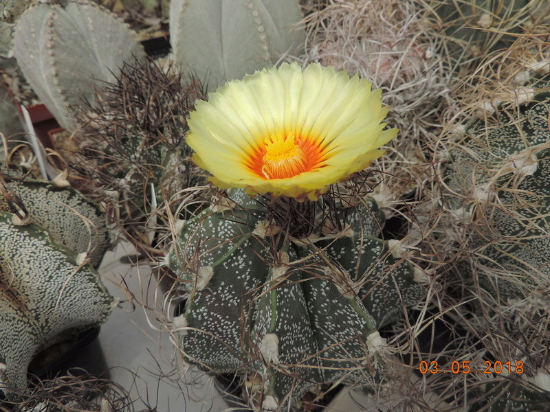 Cacti and Sukkulent in Köln, every day new flowers in the greenhouse Part 193 Bild2203
