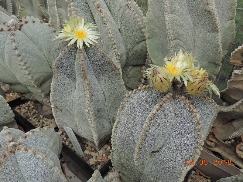 Cacti and Sukkulent in Köln, every day new flowers in the greenhouse Part 193 Bild2210