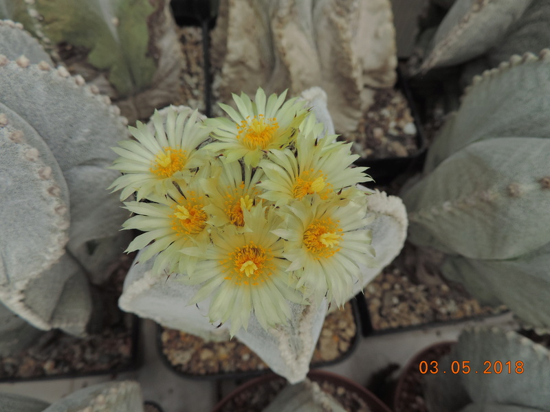 Cacti and Sukkulent in Köln, every day new flowers in the greenhouse Part 193 Bild2212
