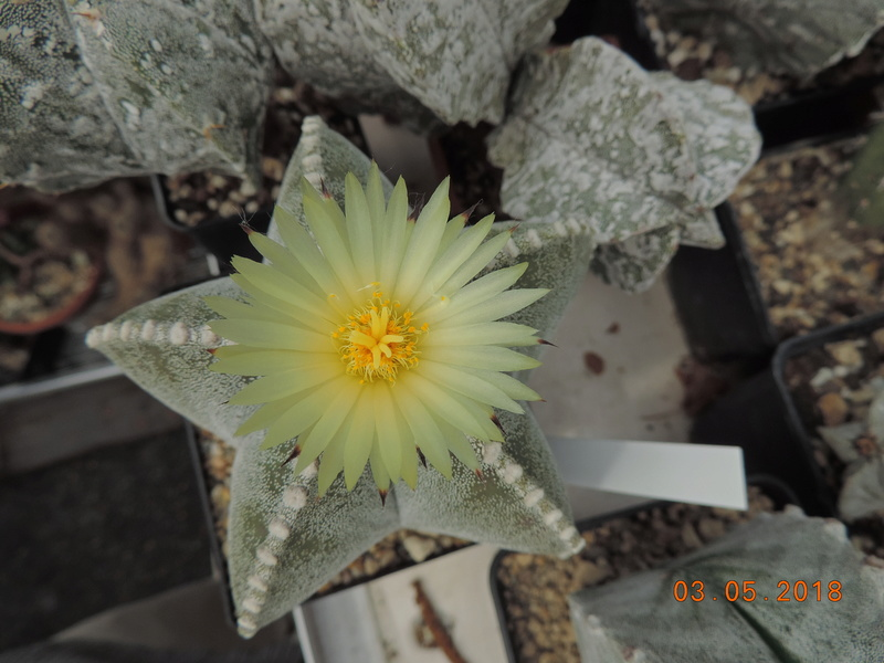 Cacti and Sukkulent in Köln, every day new flowers in the greenhouse Part 193 Bild2213