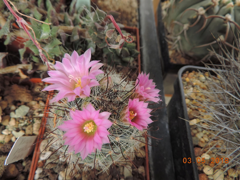 Cacti and Sukkulent in Köln, every day new flowers in the greenhouse Part 193 Bild2215