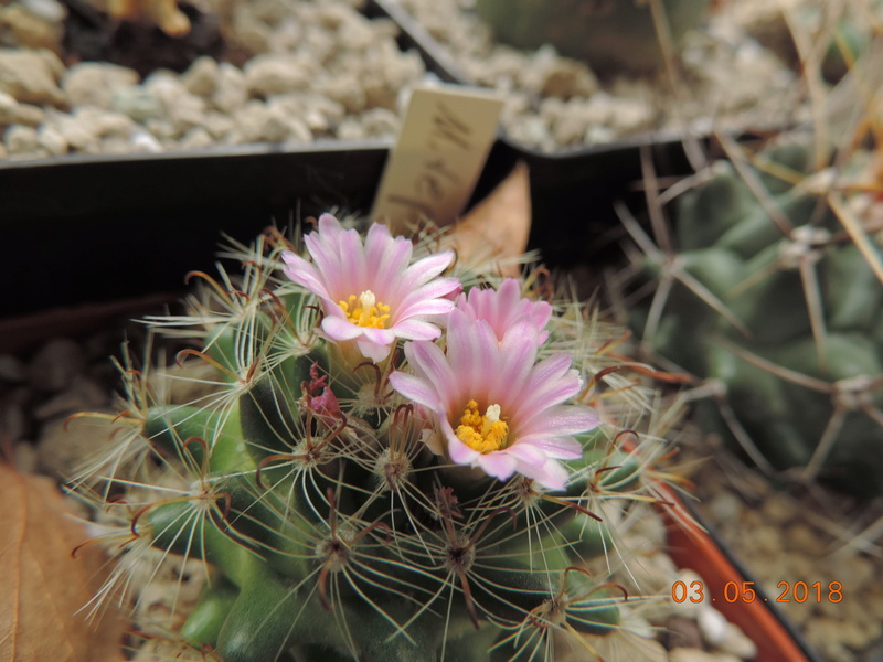 Cacti and Sukkulent in Köln, every day new flowers in the greenhouse Part 193 Bild2217