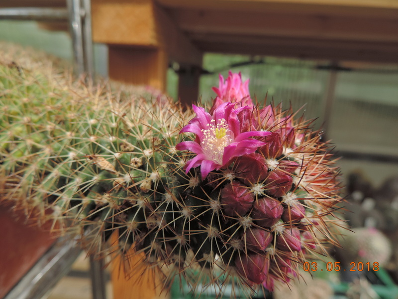 Cacti and Sukkulent in Köln, every day new flowers in the greenhouse Part 193 Bild2222