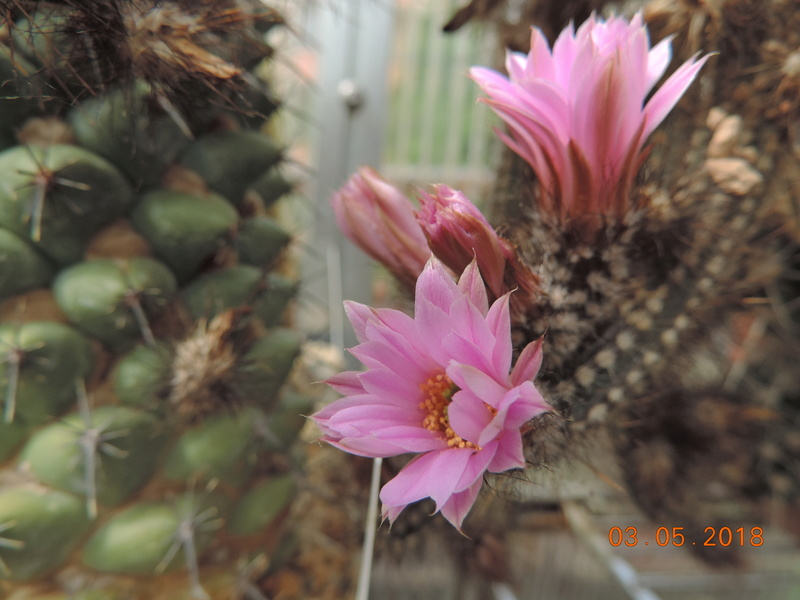 Cacti and Sukkulent in Köln, every day new flowers in the greenhouse Part 193 Bild2223