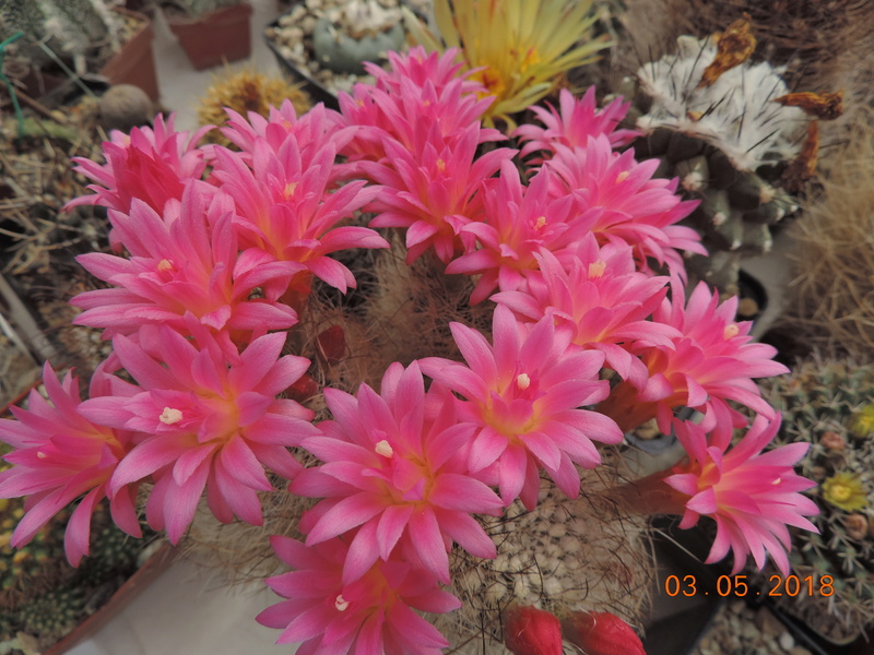 Cacti and Sukkulent in Köln, every day new flowers in the greenhouse Part 193 Bild2225