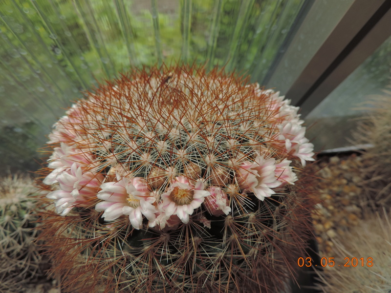 Cacti and Sukkulent in Köln, every day new flowers in the greenhouse Part 193 Bild2226