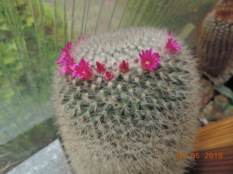Cacti and Sukkulent in Köln, every day new flowers in the greenhouse Part 193 Bild2230