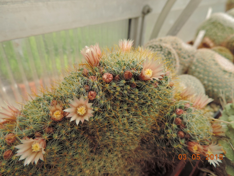 Cacti and Sukkulent in Köln, every day new flowers in the greenhouse Part 193 Bild2233