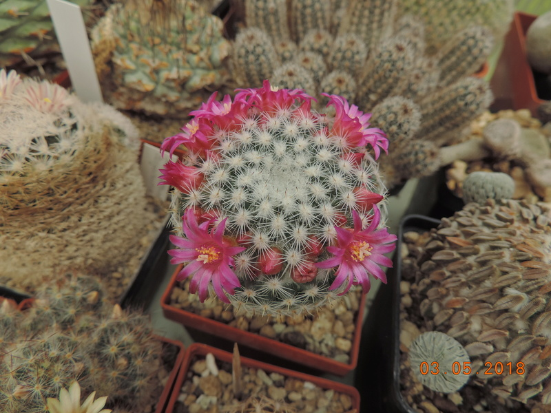 Cacti and Sukkulent in Köln, every day new flowers in the greenhouse Part 193 Bild2234