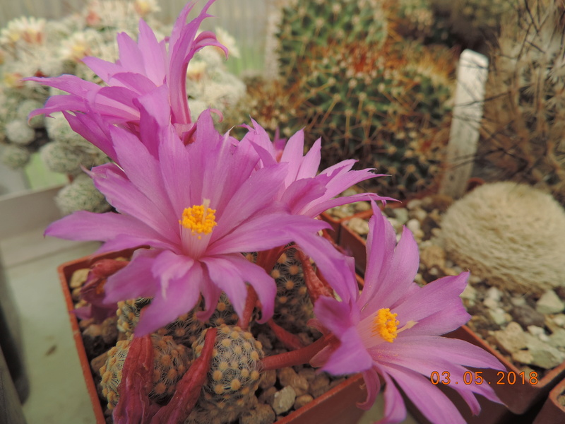 Cacti and Sukkulent in Köln, every day new flowers in the greenhouse Part 193 Bild2236