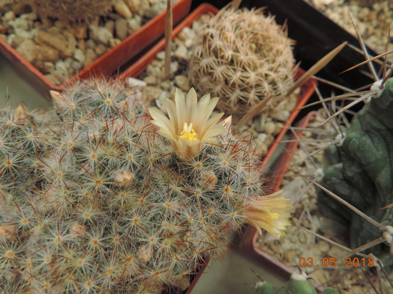 Cacti and Sukkulent in Köln, every day new flowers in the greenhouse Part 193 Bild2237