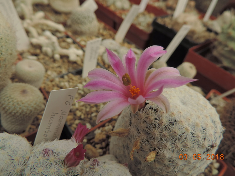 Cacti and Sukkulent in Köln, every day new flowers in the greenhouse Part 193 Bild2239