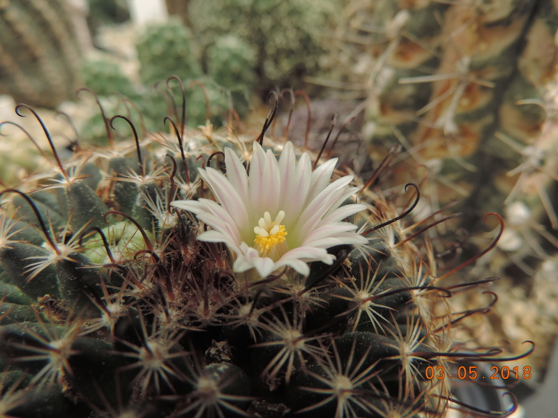 Cacti and Sukkulent in Köln, every day new flowers in the greenhouse Part 193 Bild2240