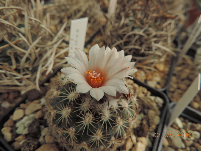 Cacti and Sukkulent in Köln, every day new flowers in the greenhouse Part 193 Bild2259