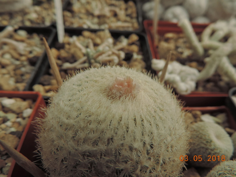 Cacti and Sukkulent in Köln, every day new flowers in the greenhouse Part 193 Bild2260