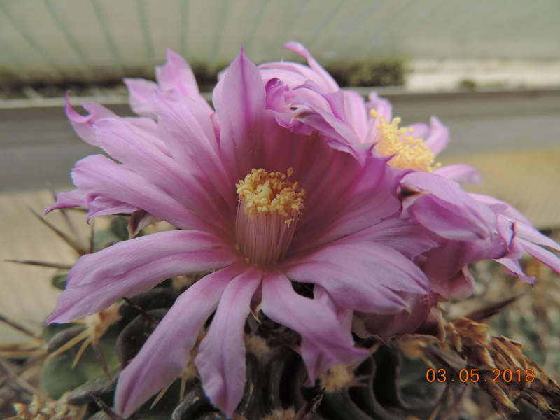 Cacti and Sukkulent in Köln, every day new flowers in the greenhouse Part 193 Bild2265