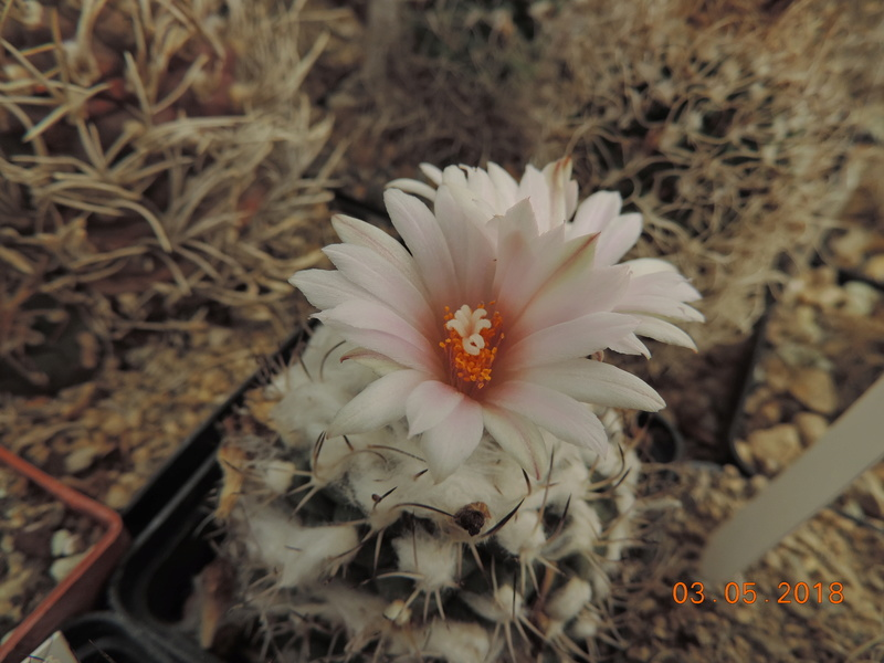 Cacti and Sukkulent in Köln, every day new flowers in the greenhouse Part 193 Bild2268