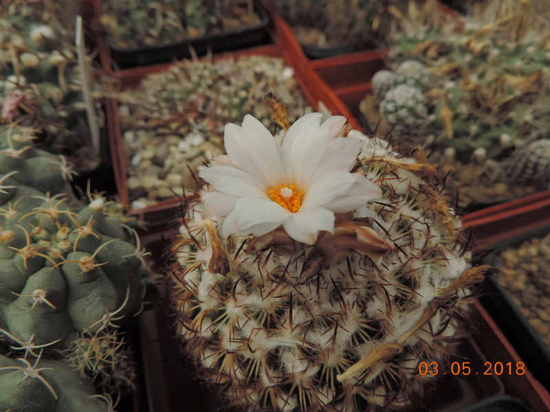 Cacti and Sukkulent in Köln, every day new flowers in the greenhouse Part 193 Bild2269