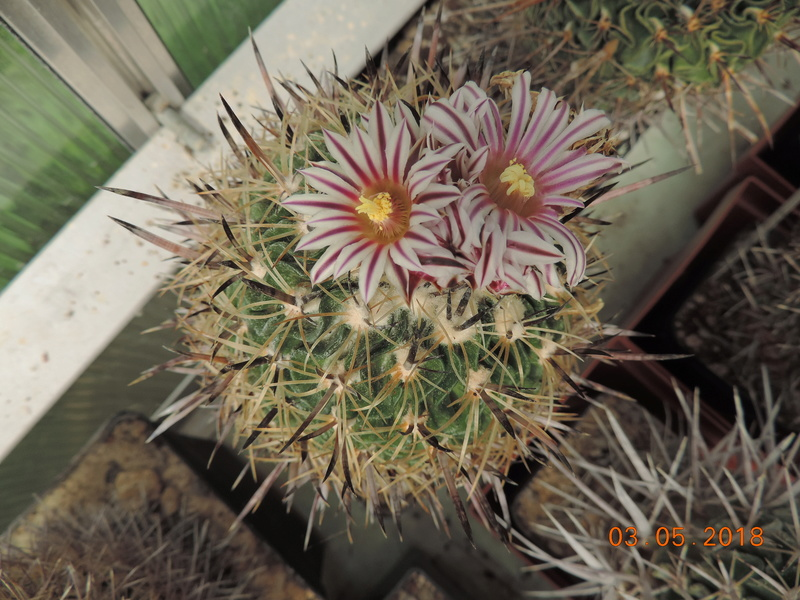 Cacti and Sukkulent in Köln, every day new flowers in the greenhouse Part 193 Bild2271