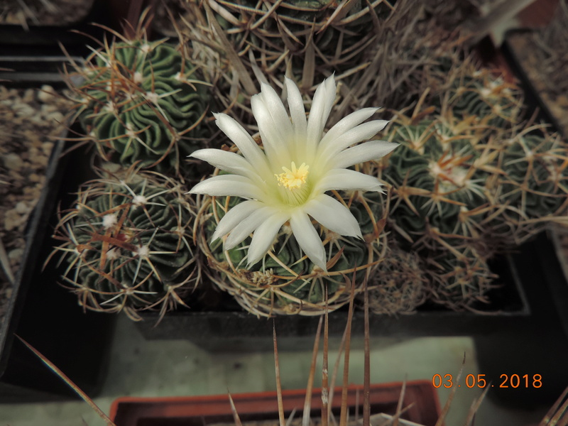 Cacti and Sukkulent in Köln, every day new flowers in the greenhouse Part 193 Bild2273