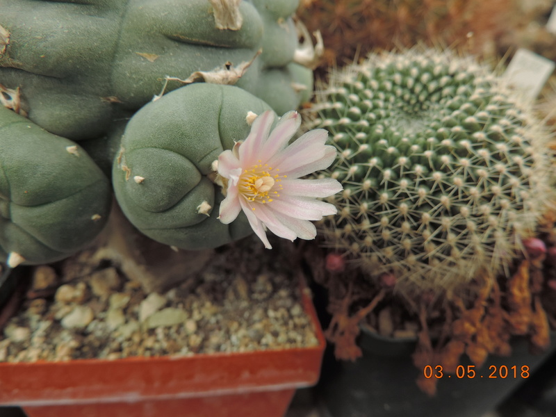 Cacti and Sukkulent in Köln, every day new flowers in the greenhouse Part 193 Bild2276