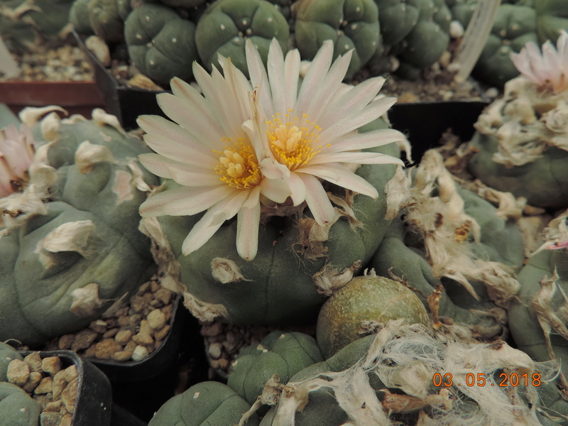 Cacti and Sukkulent in Köln, every day new flowers in the greenhouse Part 193 Bild2277