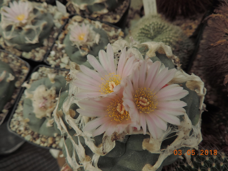 Cacti and Sukkulent in Köln, every day new flowers in the greenhouse Part 193 Bild2278