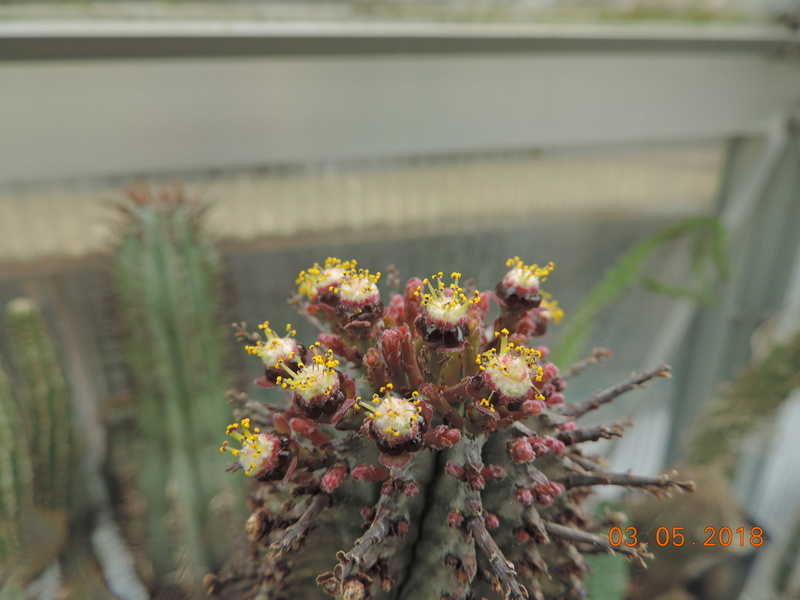 Cacti and Sukkulent in Köln, every day new flowers in the greenhouse Part 193 Bild2284