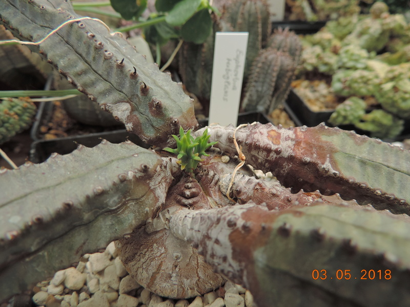 Cacti and Sukkulent in Köln, every day new flowers in the greenhouse Part 193 Bild2291