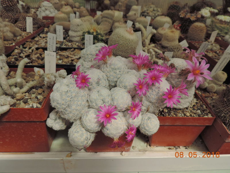 Cacti and Sukkulent in Köln, every day new flowers in the greenhouse Part 194 Bild2299