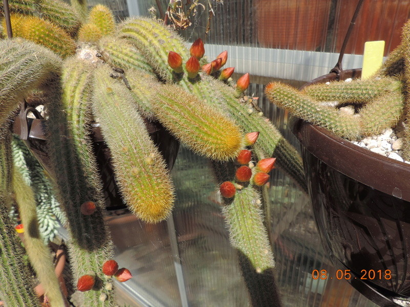 Cacti and Sukkulent in Köln, every day new flowers in the greenhouse Part 194 Bild2300