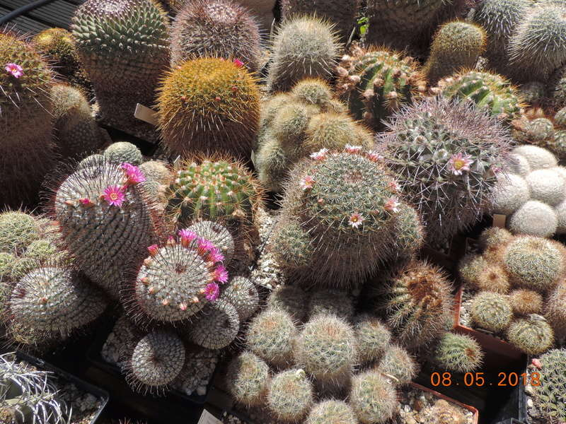 Cacti and Sukkulent in Köln, every day new flowers in the greenhouse Part 194 Bild2334