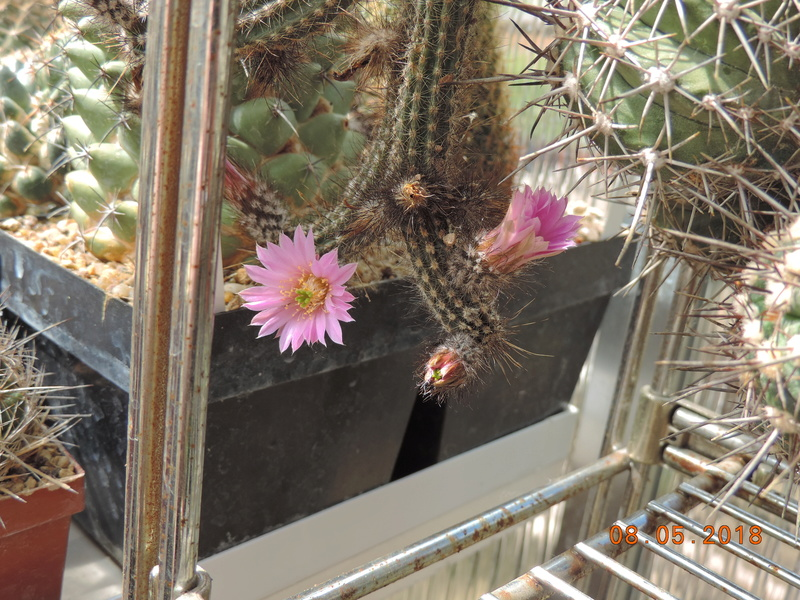 Cacti and Sukkulent in Köln, every day new flowers in the greenhouse Part 194 Bild2339
