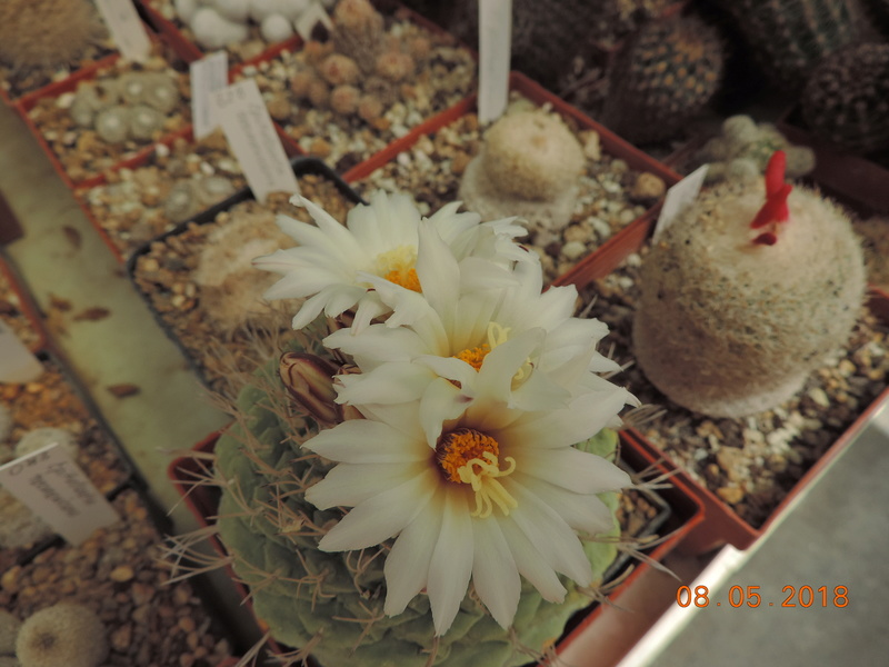 Cacti and Sukkulent in Köln, every day new flowers in the greenhouse Part 194 Bild2345
