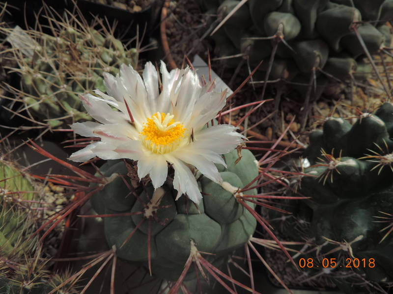 Cacti and Sukkulent in Köln, every day new flowers in the greenhouse Part 194 Bild2346