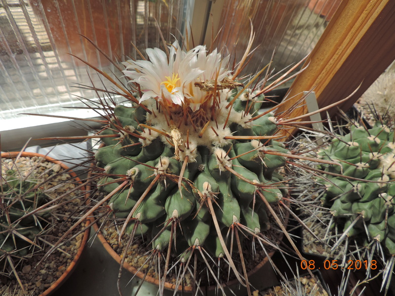 Cacti and Sukkulent in Köln, every day new flowers in the greenhouse Part 194 Bild2347