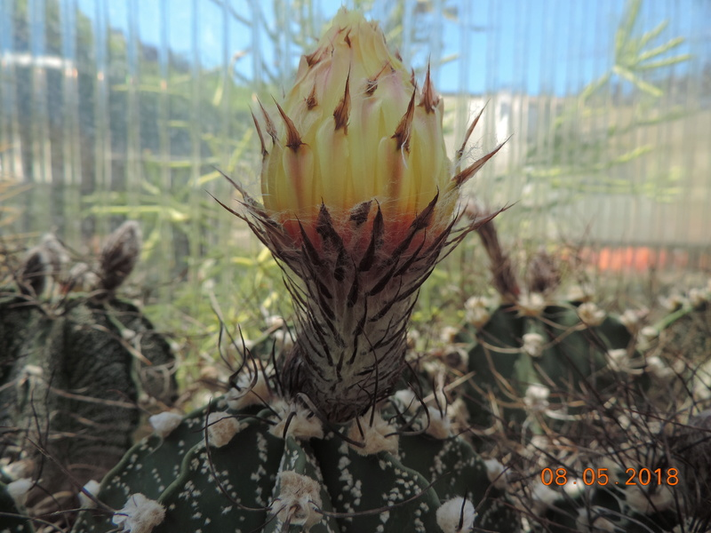 Cacti and Sukkulent in Köln, every day new flowers in the greenhouse Part 194 Bild2352