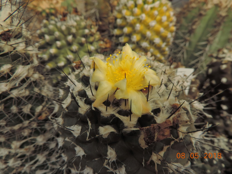 Cacti and Sukkulent in Köln, every day new flowers in the greenhouse Part 194 Bild2354