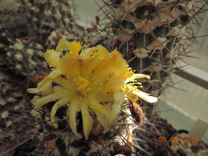 Cacti and Sukkulent in Köln, every day new flowers in the greenhouse Part 194 Bild2355