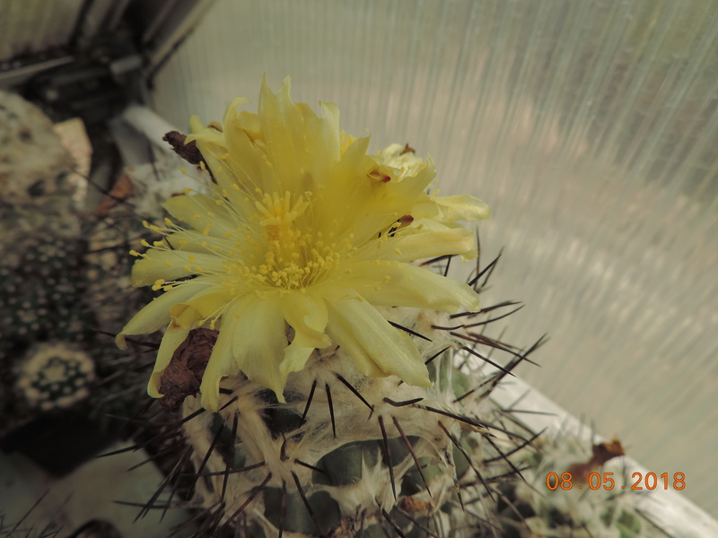Cacti and Sukkulent in Köln, every day new flowers in the greenhouse Part 194 Bild2356