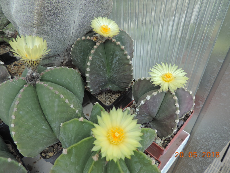 Cacti and Sukkulent in Köln, every day new flowers in the greenhouse Part 194 Bild2361