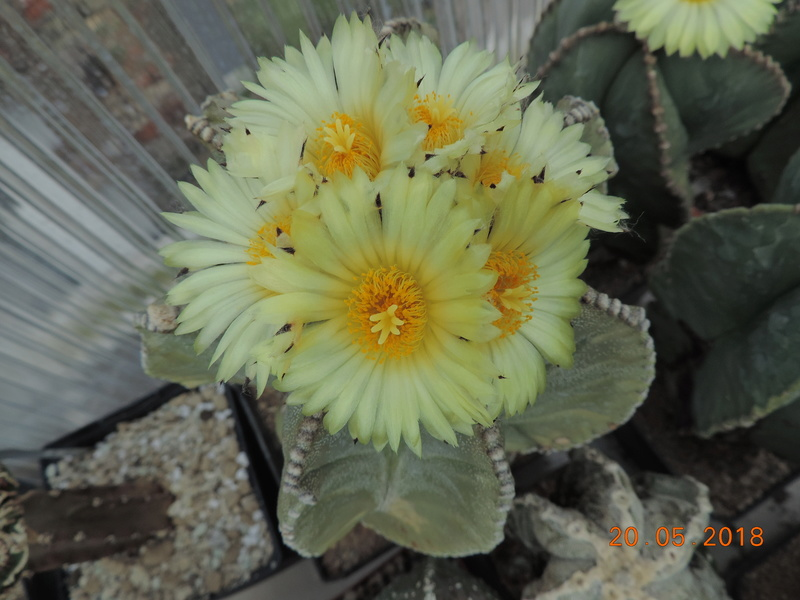 Cacti and Sukkulent in Köln, every day new flowers in the greenhouse Part 194 Bild2365