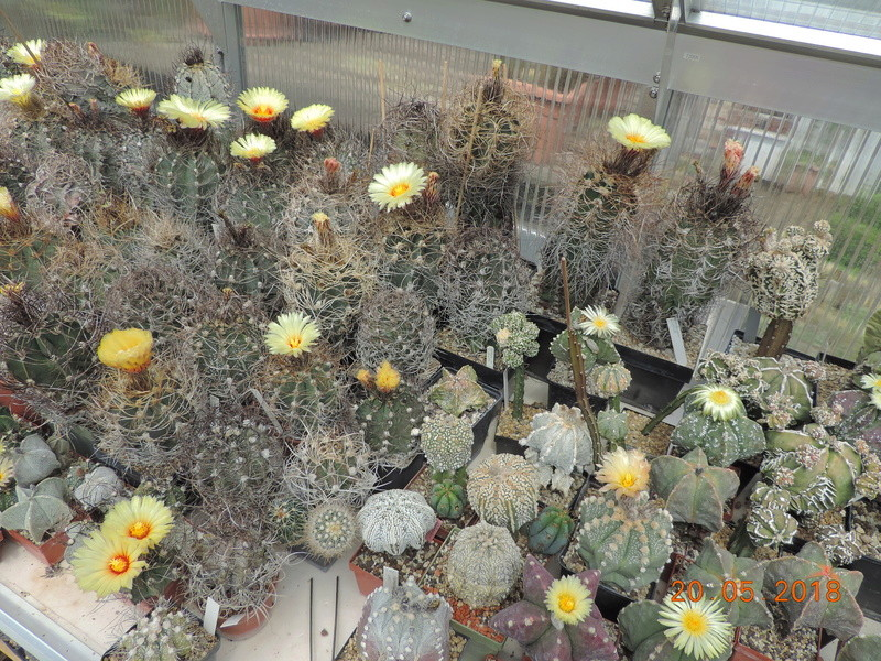 Cacti and Sukkulent in Köln, every day new flowers in the greenhouse Part 194 Bild2370
