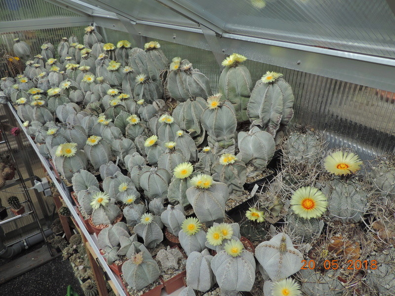 Cacti and Sukkulent in Köln, every day new flowers in the greenhouse Part 194 Bild2374