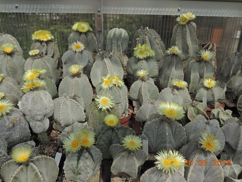 Cacti and Sukkulent in Köln, every day new flowers in the greenhouse Part 194 Bild2379