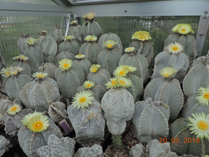 Cacti and Sukkulent in Köln, every day new flowers in the greenhouse Part 194 Bild2395